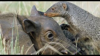 Download Robotic Warthog Groomed by Mongoose Video