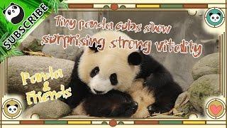 Download 【Panda & Friends】Ep1: Tiny panda cubs show surprising strong vitality | iPanda Video