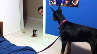 Download funny scared doberman Video