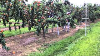 Download Romagnoli Farms Takes You in the Peach Orchard Video