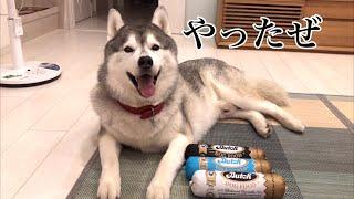 Download ついに高級ドッグフード「Butch」を食したシベリアンハスキー Video