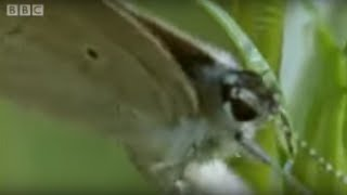 Download Butterfly Eggs and Caterpillar Survival | Life In The Undergrowth | BBC Video