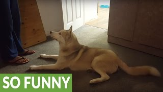 Download Husky refuses to take shower, vocally argues with owner Video