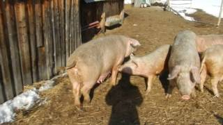 Download Жизнь в деревне Свинья опоросилась на улице. Переводим в стайку. Video