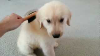 Download Sweet 8 Week Old English Cream Golden Retriever Puppy Enjoying Being Brushed Video
