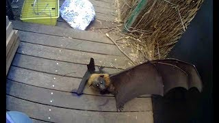 Download Rescuing a Flying-Fox with her thumb stuck: this is Siri Video