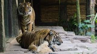 Download Tigers, Suka and Nelson, introductions at the San Diego Zoo Safari Park. Video