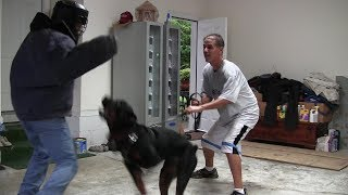 Download Shutzhund vs Real Protection Dogs Video