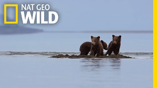 Download Bear Cubs Stranded in Rising Tides | Destination WILD Video