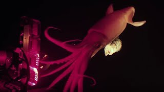 Download Jumbo squid caught on camera for Blue Planet II | Earth Unplugged Video