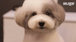 Download 원장님 추천으로 단발로 잘라봤는데 어때요 l Watch Poodle Dog's Short Haircut Makeover LOL Video