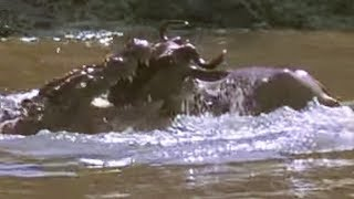 Download Crocodile strikes Wildebeest! | Massive Nature | BBC Earth Video