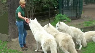 Download Zoo Berlin- Wolves Feeding Wolf Fütterung - White Arctic Pack of Wolves - Great Scene Video