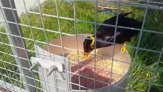 Download Chú chim Nhồng nói chuyện làm bó tay người nghe...! GCSQ 171 Video
