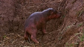 Download A Newborn Hippo Takes His First Breath Video