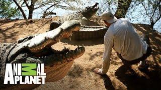Download ¡Cocodrilo tira a Frank de un coletazo! | Wild Frank en África | Animal Planet Video