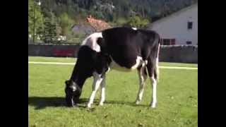 Download Luck-E Sid Ashley Swissgenetics Top Sale Video