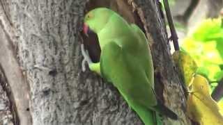 Download Indian Ringneck parrot digging nest in tree for breeding Video