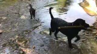 Download Portugiesischer Wasserhund Video