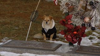 Download Chihuahua Won't Leave Owner's Gravesite Video