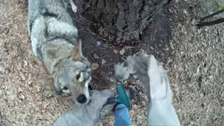 Download Coyote named Scooter - 081 - hairy situation Video