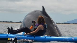 Download Close encounter: Kayakers get rare look at humpbacks Video