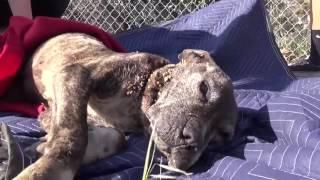 Download một chú chó Pitbull bị bỏ rơi trên cầu và kết thúc buồn bã Video