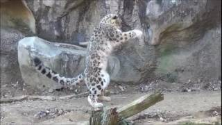 Download Snow leopards jumping and being awesome Video