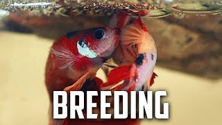Download How to Breed Fish For Profit Part 3. Operational Costs. - Real Fish Talk Video