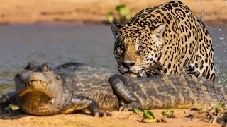 Download Un jaguar attaque un caïman ! - ZAPPING SAUVAGE Video