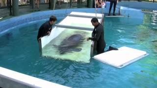 Download Manatee Shuffle - Cincinnati Zoo Video