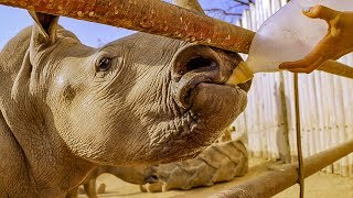 Download Baby White Rhino Set on the Road for Freedom | BBC Earth Video