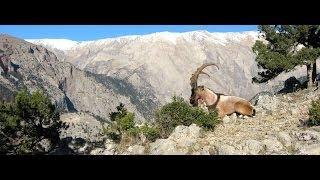 Download BEZOAR IBEX HUNT IN TURKEY Video