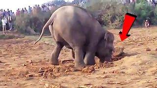 Download Elefante scava una buca per 11 ore!Quello che tira fuori è allucinante!! Video