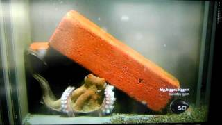 Download A demonstration of an octopus learning through observation. Video
