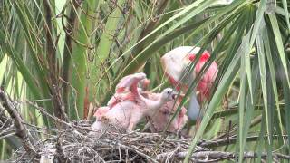 Download Roseate Spoonbill Nest Video