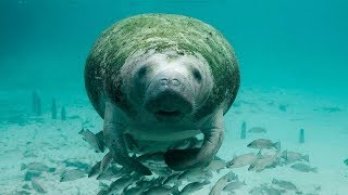 Download 10 Amazing Facts about Manatees Video