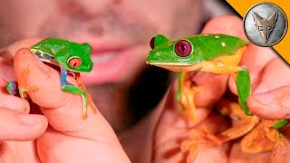 Download Red Eye vs Gliding Tree Frog! Video