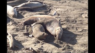 Download Elephant Seals Battle For Dominance & Breeding Rights ~ 2.12.19 Video