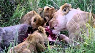 Download Lion family eating a warthog Video