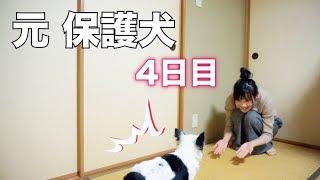 Download 【保護犬】うちにきて4日、飼い主しかとされる。 Video
