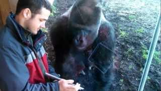 Download Louisville Zoo Gorilla Likes Ipad Video