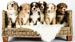 Download Australian Shepherd puppies growing | Time lapse Video
