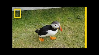 Download Watch: Curious Puffin Befriends a Tourist | National Geographic Video