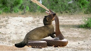 Download Mongoose Vs Cobra - Big Battle - Wild Animal Fights Video