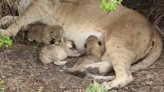 Download Tiny newborn lion cubs, Serengeti - African Family Safaris Video