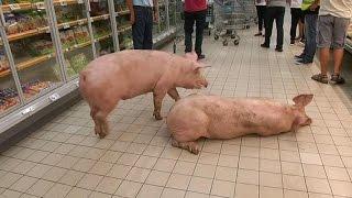 Download Lot-et-Garonne: des cochons se baladent dans un supermarché Video