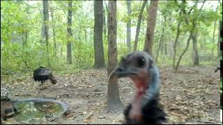 Download Turkeys Video