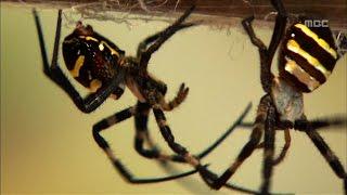 Download [특집다큐] 거미전(戰) #3 (거미싸움) Video