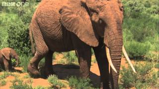 Download Maya the elephant's first 10 days - Planet Earth Live - BBC One Video